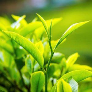 Green Tea 95/50 – ekstrakt zielonej herbaty